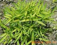 供应菲黄竹 产地安吉 质量可靠