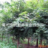 供应奉化产金桥牌4-13公分的农户直销价鸡爪槭。