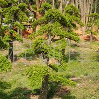 常年供应公园 庭院绿化苗木榆树