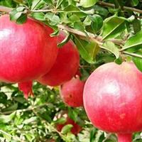 供应 优质石榴苗  果树种苗 多品种 多规格厂