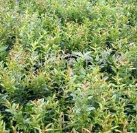 供应 优质石榴苗  果树种苗 多品种 多规格