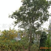 长年供应绿化苗木,朴树等花木