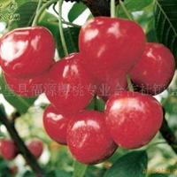 新品种樱桃树