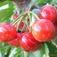 优选沙米豆大樱桃