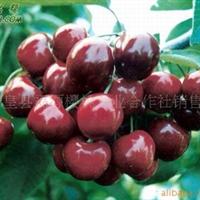 乌克兰大樱桃