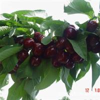 新品种樱桃树厂