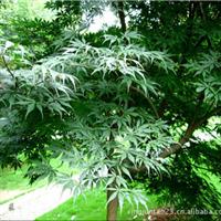供应绿化苗木  乔木   鸡爪槭   7-10公分800-4500元