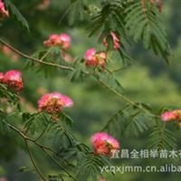 大量供应-- 工程绿化苗木 乔木类 合欢 绒花树 夜合花 规格齐全