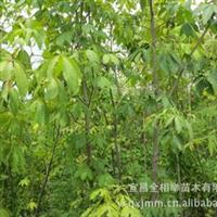 大量供应-- 各种规格梭椤树 七叶树 优质绿化苗木 园林园艺苗木