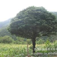 大量供应-- 各种规格楠树 优质绿化苗木 楠木树 绿化工程苗木厂