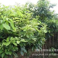 大量供应-- 各种规格楠树 优质绿化苗木 楠木树 绿化工程苗木