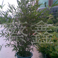 (50元特价)供应盆栽红豆杉。厂