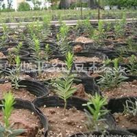 较低价供应曼地亚红豆杉一年生小苗
