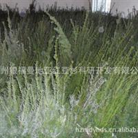 【曼地亚红豆杉枝条】供应曼地亚红豆杉枝条《基地剪枝条》