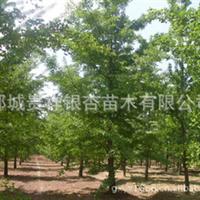 低价供应25公分银杏实生树