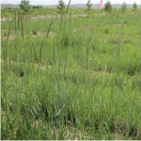 新麦草-地被类-蒙草抗旱低碳绿化-防沙、固土、耐寒、耐旱