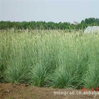 新麦草-地被类-蒙草抗旱低碳绿化-防沙、固土、耐寒、耐旱厂