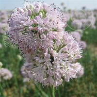 山韭-地被-蒙草抗旱低碳绿化-耐碱、耐寒、耐旱厂