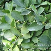 供应绿化苗木 大叶黄杨厂