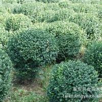 供应绿化苗木 大叶黄杨