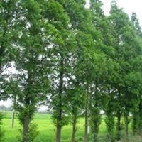 供应规格齐全的大叶黄杨