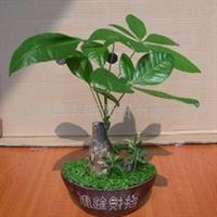 组合室内观叶植物发财树小森林盆栽
