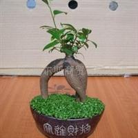 组合室内观叶植物发财树小森林盆栽厂