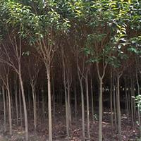 供应强抗有害污染气体、常绿阔叶树----大叶女贞
