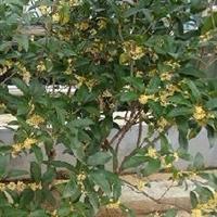 批量优惠供应各种规格优质八月桂花树苗