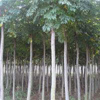 供耐寒、抗旱苗木-栾树、红叶石楠、龙柏、花柏、杜仲