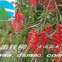 串钱柳(红花垂柳)厂