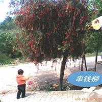 串钱柳(红花垂柳)