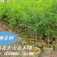 澳洲茶树(互叶白千层 Tea Tree Oil)