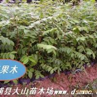 顶果树苗(生长很快 耐寒零下-4.5℃ 适应性强)