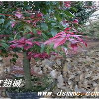供应红翅槭(红花槭,槭树)