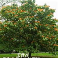 无忧树(无忧花 佛祖诞生此树下 佛诞树 佛教圣树)