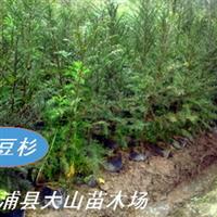 红豆杉(南方红豆杉)厂