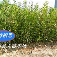 供应台湾相思(相思树,荒山复绿,水土保持)厂