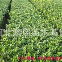 金叶女贞、黄杨、小檗、沙地柏、萱草、红瑞木