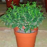 供应 驱蚊草 清香木 胡椒木  绿植盆栽
