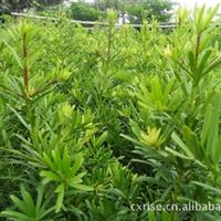 大量供应批发台湾罗汉松杯苗高0.7-1.4米