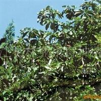 专业供应优质厚朴,各种规格厚朴树苗