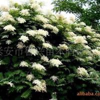 供应各种价格实惠的优质绿化树苗——珍珠梅厂