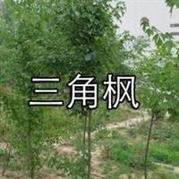 三角枫 春季花色黄绿,入秋叶片变红