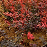 陕西百盛苗圃专业供应红叶小檗、金叶女贞等各种绿化苗木花卉