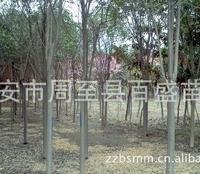专供大叶女贞1-10公分,常绿乔木、常绿灌木及各种苗木花卉供应
