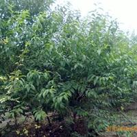 供应绿梅5CM
