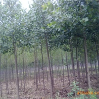 供应绿梅5CM厂