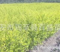 低价出售绿化灌木供应,陕西小叶女贞甘肃金叶女贞、内蒙紫叶矮樱