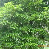 供应四季常绿树楠木厂